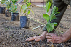Garden worker hands carefully plant. At the new apartment block. Hands covering a newly planted with dirt Royalty Free Stock Image