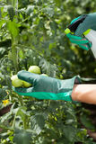 Garden worker spraying tomatoes Royalty Free Stock Photography