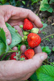 Garden Works - Hands with Strawberry. Gardening, Healthy Food Royalty Free Stock Image