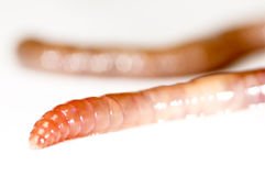 Garden worm isolated in white Stock Images
