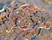 Garden worms stock image