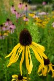 Garden: yellow black-eyed susan coneflowers Stock Photos