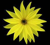 Garden yellow flower, black isolated background with clipping path.  Closeup.  no shadows. view of the stars,  for the design. Stock Photography
