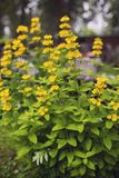 Garden yellow loosestrife full bloom in a garden. Garden yellow loosestrife full bloom in a city garden, beggining of autumn Royalty Free Stock Photography