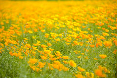 Garden of Yellow poppy and dragonfly. 1 Stock Photo