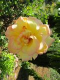 Garden yellow rose. A beautiful garden yellow rose Royalty Free Stock Photography