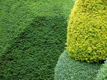 Garden: yellow topiary hedge detail Stock Image