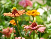 Garden of zinnias. Garden of zinnia elegans   macro Stock Photo