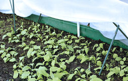 The gardenbed with radish sprouts Royalty Free Stock Photography