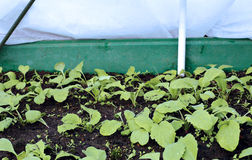 The gardenbed with radish sprouts, sheltered white geotextile. For warming in early spring Stock Image