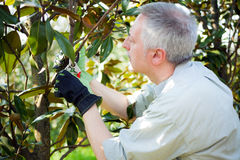 Gardene pruning a tree Royalty Free Stock Photos