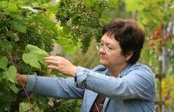 Gardener. Woman picking grape fruits stock image