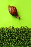 The Gardener. Snail on bright green surface heading towards bed of cress royalty free stock image