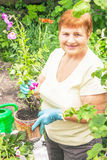 Gardener active senior elderly woman is planting flowers in pot Stock Photos