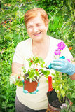 Gardener active senior elderly woman is planting strawberries in Stock Image