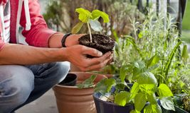 Free Gardener Activity On The Sunny Balcony  -  Repotting The Plants Geranium, Pelargonium, Pepper Plants, Squash Seedlings And Young Stock Images - 149189014