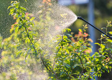Gardener applying an insecticide fertilizer to his fruit shrubs stock photography