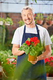 Gardener with begonia in nursery shop Royalty Free Stock Image