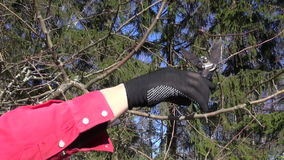 Gardener in black gloves pruning apple tree in spring stock video