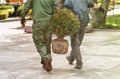 gardener brings a sapling of thuja tree Stock Photography