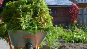 Gardener carries a cart with carrots tops. Farmer carries a cart with carrots tops. In the background are beds with plants stock footage