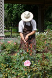 Gardener caving a rose bush. In park royalty free stock images