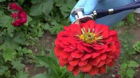 Gardener checking beautiful flower zinnia health with stethoscope. Stock Images