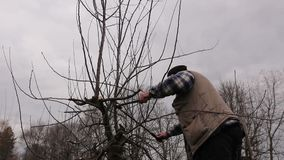 Farmer is pruning branches of fruit trees in orchard using long loppers on ladders. Gardener is climbed on ladders and he cutting branches, pruning fruit trees stock footage