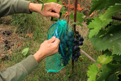 Gardener covers blue grape bunches in protective bags to protect Stock Photos