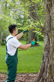 Gardener cropping tree Stock Photography