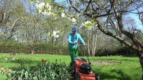 Gardener cut lawn with grass mower in spring garden. 4K. Gardener cut lawn with grass mower in spring garden. Blooming tulip flowers and cherry tree. Man in blue stock video