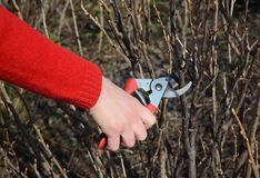 Gardener  cutingt blackcurrant Ribes nigrum branch with bypass secateurs in early spring. Royalty Free Stock Image