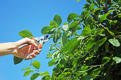 Gardener cuts a branch of plum tree Stock Images