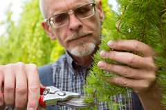 The gardener cuts the branch shears royalty free stock photo