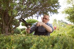 Gardener cuts a decorative shrub shears royalty free stock images