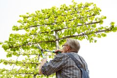 The gardener cuts the high ornamental tree shears royalty free stock image