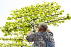 The gardener cuts the high ornamental tree shears stock photo
