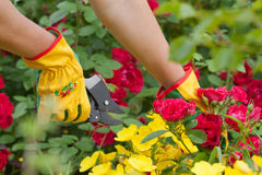 Gardener cuts rose Royalty Free Stock Photography