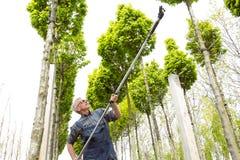The gardener cuts the tall trees stock photos