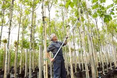 The gardener cuts the tall trees in garden shop royalty free stock photography