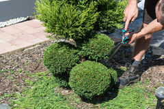 Gardener cuts a Thuja or boxwood in shape. Royalty Free Stock Photography