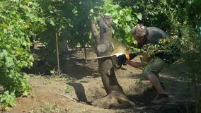 Gardener cuts tree with chainsaw near vine grapes. Green trees in the background. Tree removal stock footage