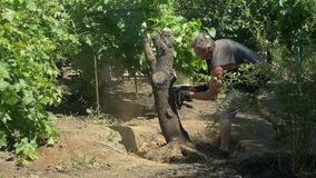 Gardener cuts tree with chainsaw near vine grapes. Slow motion. A man cuts tree with chainsaw near vine grapes. Green trees in the background. Tree removal. Slow stock video footage