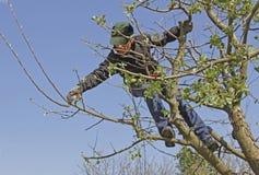 Gardener cutting apple tree at springtime Stock Photography