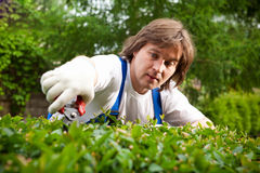 Gardener cutting a bush. Diligent gardener cutting a bush royalty free stock photo