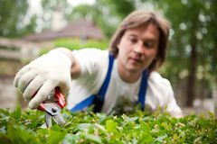 Gardener cutting a bush Stock Images