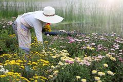 Gardener cutting colorful chrysanthemum flower in the garden during harvest season royalty free stock image