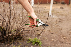 Gardener is cutting a currant with a pruner. Gardener is cutting a currant with a pruner royalty free stock images