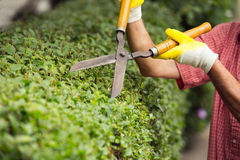 Gardener cutting a hedge with a garden pruner Royalty Free Stock Images