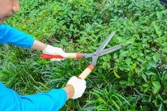 Gardener cutting hedge with grass shears Stock Photos